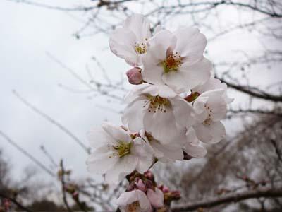 千葉県立茂原樟陽高等学校の近所の桜