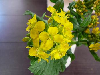 千葉の菜の花