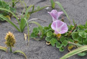 九十九里浜の浜昼顔