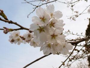 千葉県茂原市の桜