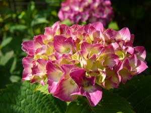 2013-06-01庭先の紫陽花