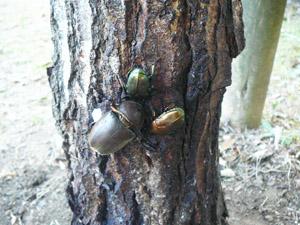 茂原市民体育館にいたカブトムシ