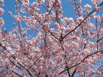 2014年 長生郡白子町の河津桜