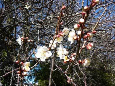 2015茂原市の梅