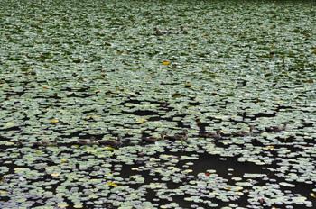 千葉市昭和の森の鴨