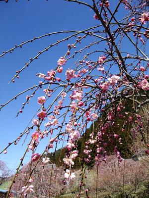 3分咲きの梅