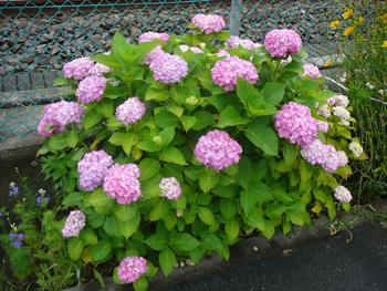201206近所の線路の紫陽花