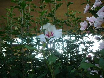 むくげの花20120708