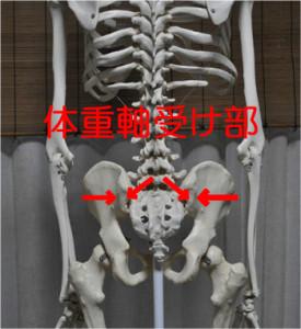 骨盤内の体重軸受け部