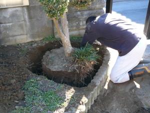 楽楽屋駐車場移設にともなう槇の移植の根切り