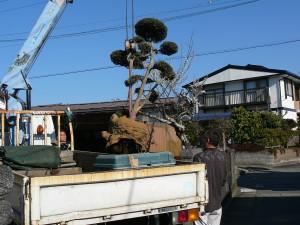 楽楽屋駐車場移設にともなうユニック車で槇の移植