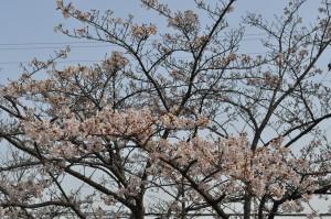 茂原市民体育館の桜 子の木だけ満開