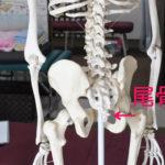 骨盤の下にある尾骨