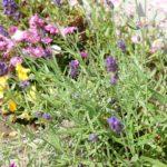 千葉県茂原市整体カイロオステ楽楽屋駐車場の初夏の花
