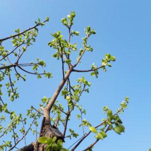 楽楽屋の柿の葉