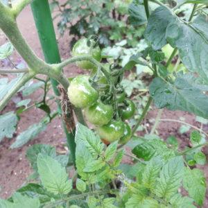 茂原の楽楽屋のミニトマト