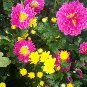 千葉県茂原市内の住宅地で咲いた菊