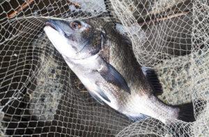 千葉県の河口で釣った黒鯛