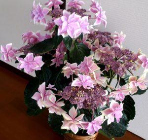 金平糖という名の紫陽花