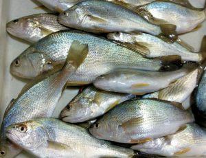 九十九里海岸の大網白里市辺りで釣ったイシモチ