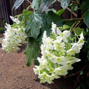 茂原市整体カイロオステ楽楽屋の駐車場の柏葉紫陽花